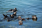 California sea otters, or southern sea otters, Enhydra lutris nereis ( threatened species ), sleeping, resting, and socializing in a raft in eel grass bed, Morro Bay, California, United States ( Eastern Pacific ); otter at front center has a red research tag on its flipper