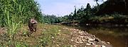Brazilian Tapir <br />Tapirus terrestris<br />Lower Urubamba River. Amazon Rain Forest, PERU<br />South America