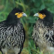 Two captive eagles discussing where to go for dinner. Sangay animal shelter, Banos, Ecuador.