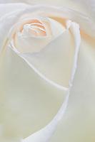high key white peace rose macro