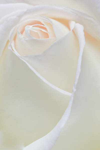 high key white peace rose macro