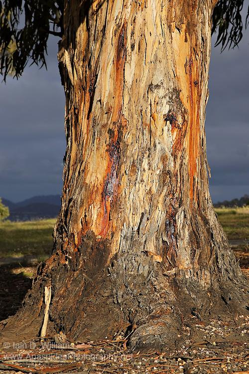Eucalyptus at Twilight, Tasmania