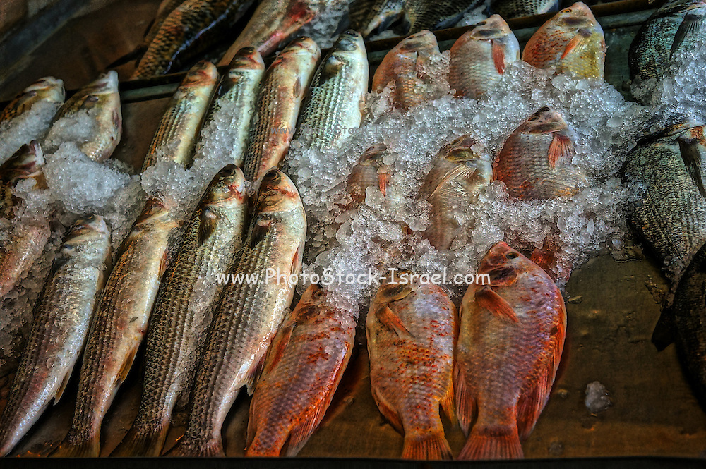 Fresh sea fish brought to the market on crushed ice to preserve freshness