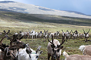 Stunning images reindeer herders of Mongolia<br /> <br /> Tsaatan people are reindeer herders and live in northern Khövsgöl Aimag of Mongolia. Originally from across the border in what is now Tuva Republic of Russia,the Tsaatan are one of the last groups of nomadic reindeer herders in the world. They survived for thousands of years inhabiting the remotest Ulaan taïga, moving between 5 and 10 times a year. <br /> The reindeer and the Tsaatan people are dependent on one another. Some Tsaatan say that if the reindeer disappear, so too will their culture. The Tsaatan depend on the reindeer for almost, if not all, of their basic needs:  their reindeers provide them with milk, cheese, meat, and transportation. They sew their clothes with reindeer hair, reindeer dung fuels their stoves and antlers are used to make tools. They do not use their animals for meat. This makes their group unique among reindeer-herding communities. As the reindeer populations shrink, only about 40 families continue the tradition today. Their existence is threatened by the dwindling number of their domesticated reindeer. Many have swapped their nomadic life for urban areas. <br /> <br /> Every evening, more than a hundred reindeer would return to the camp after a long day spent far away searching for food. Those were utterly unforgettable moments, as we watched their herds returning; a graceful army filling the horizon, their antlers dancing in the air.<br /> ©Pascal MANNAERTS/Exclusivepix Media