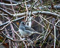Dark-eyed Junco. Image taken with a Nikon D300 camera and 80-400 mm VR lens (ISO 450, 400 mm, f/5.6, 1/250 sec).