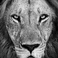 The King, Botswana