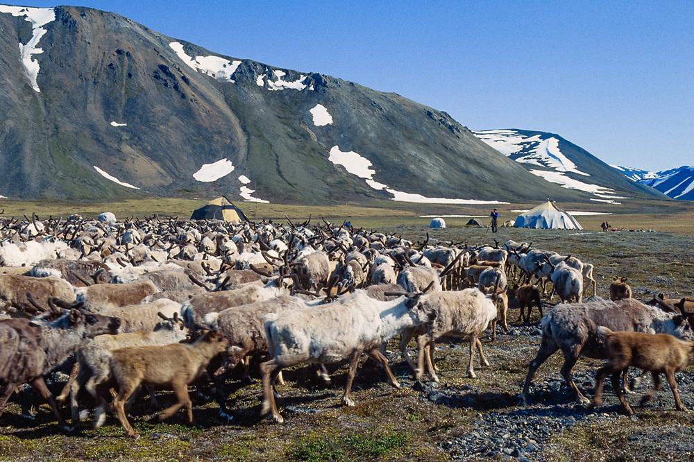 Harvest time, Chukchi reindeer camp, Val 'karvaam Valley, Chukotsk Peninsula, Russia