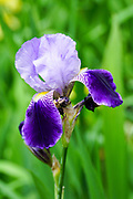 Blooming Purple Iris Photographed in Latvia