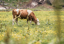 THEMENBILD - eine Kuh grast auf einer Almwiese. Der Hintersee ist ein kleiner Gebirgssee in 1313 m Höhe im Talschluss des Felbertals in Mittersill. Der Bergsee ist ein Naturdenkmal und wurde unter Schutz gestellt. Der Hintersee gilt als Geheimtipp, Erholungsgebiet und ein Platz, den man gesehen haben muss, aufgenommen am 23. Juni 2019, am Hintersee in Mittersill, Österreich // a cow grazes on a mountain pasture. Hintersee is a small mountain lake 1313 m above sea level at the end of the Felbertal valley in Mittersill. The mountain lake is a natural monument and was placed under protection. The Hintersee is an insider tip, a place you must have seen and a recreation area on 2019/06/23, Hintersee in Mittersill, Austria. EXPA Pictures © 2019, PhotoCredit: EXPA/ Stefanie Oberhauser