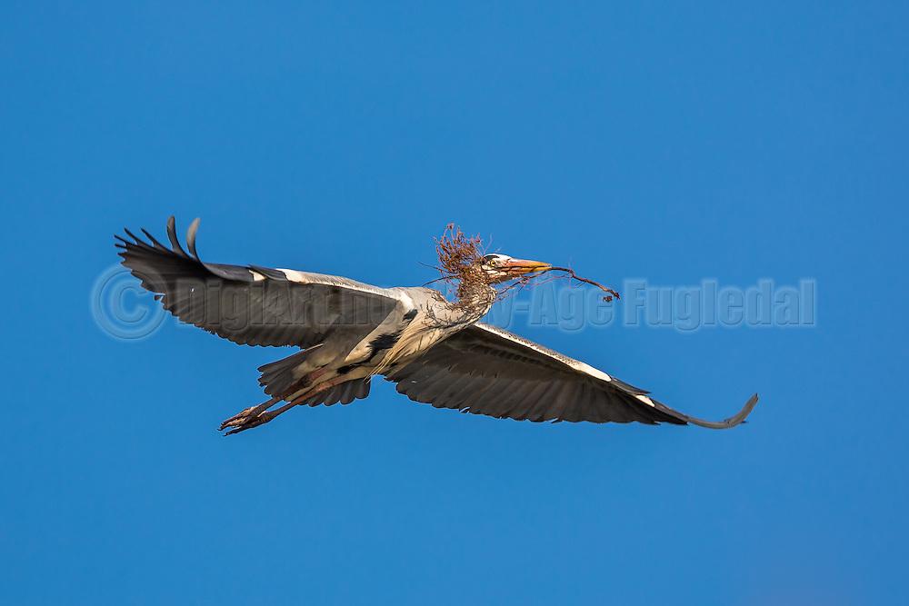 Gray Heron in flight with a branch in it's beek, on it's way to build a nest | Gråhegre i flukt med en gren i nebbet, på vei for å bygge reir
