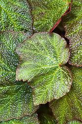 Begonia 'Burly Marx'
