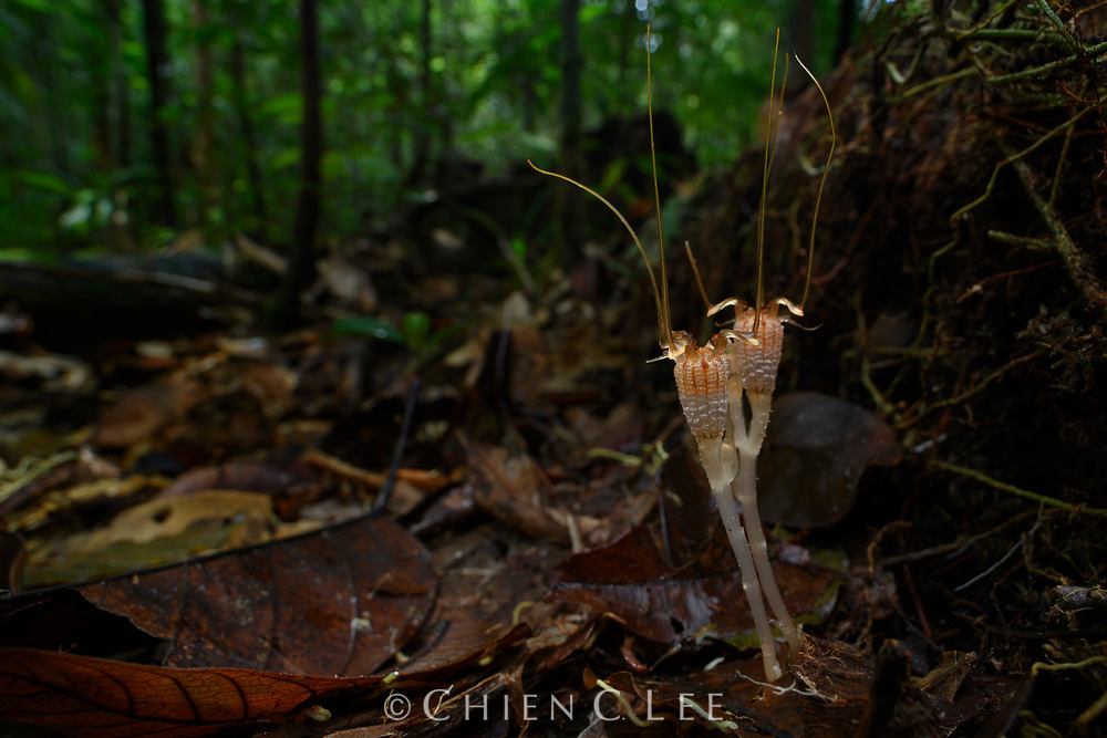 Unseen since its original discovery in 1866 by Odoardo Beccarii, the elusive Thismia neptunis was found again in western Borneo in 2018. Like other mycoheterotrophic plants, it is unable to photosynthesize and derives its sustenance entirely from subterranean fungi. Sarawak, Malaysia (Borneo).