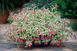 Hardy Fuchsia 'Tom West' in a glazed pot on a patio