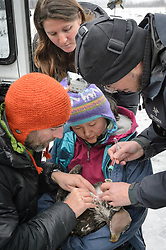 """Steve Lewis, Raptor Management Coordinator, U.S. Fish & Wildlife Service (left) and Dr. Scott Ford, avian veterinarian, Avian Speciality Veterinary Services of Alaska (right) take blood samples from a bald eagle (Haliaeetus leucocephalus) captured in the Alaska Chilkat Bald Eagle Preserve. Holding the eagle is Yiwei Wang, graduate student, University of California Santa Cruz. Watching the procedure is Rachel Wheat, graduate student at the University of California Santa Cruz. Blood samples are taken of the eagles to study for various things including chemical contaminants such as mercury. Wheat is conducting a bald eagle migration study of eagles that visit the Chilkat River for her doctoral dissertation. She hopes to learn how closely eagles track salmon availability across time and space. The bald eagles are being tracked using solar-powered GPS satellite transmitters (also known as a PTT - platform transmitter terminal) that attach to the backs of the eagles using a lightweight harness. The latest tracking location data of this bald eagle known as """"2Z"""" can be found here: http://www.ecologyalaska.com/eagle-tracker/2z/ . During late fall, bald eagles congregate along the Chilkat River to feed on salmon. This gathering of bald eagles in the Alaska Chilkat Bald Eagle Preserve is believed to be one of the largest gatherings of bald eagles in the world."""