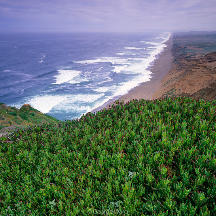 Ice Plant and the Great Beach, Point Reyes National Seashore, California