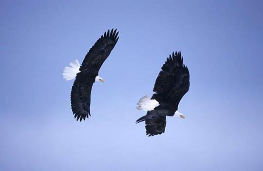Bald Eagle, (Haliaeetus leucocephalus) Pair of adults in flight. Alaska.