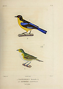 hand coloured sketch Top: blue-winged mountain tanager (Anisognathus somptuosus [Here as Tachyphonus flavinucha]) Bottom: purple-throated euphonia (Euphonia chlorotica [Here as Euphonia serrirostris]) From the book 'Voyage dans l'Amérique Méridionale' [Journey to South America: (Brazil, the eastern republic of Uruguay, the Argentine Republic, Patagonia, the republic of Chile, the republic of Bolivia, the republic of Peru), executed during the years 1826 - 1833] 4th volume Part 3 By: Orbigny, Alcide Dessalines d', d'Orbigny, 1802-1857; Montagne, Jean François Camille, 1784-1866; Martius, Karl Friedrich Philipp von, 1794-1868 Published Paris :Chez Pitois-Levrault et c.e ... ;1835-1847