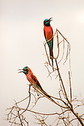 The northern carmine bee-eater (Merops nubicus or M. n. nubicus) is an African near passerine bird in the bee-eater family, Meropidae. Alternative common names include the carmine bee-eater or the Nubian bee-eater. It is closely related to the southern carmine bee-eater. Photographed in Ethiopia in November