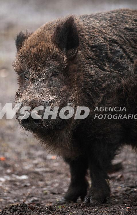 Zdjecie ilustracyjne - dzik ( Sus scrofa ) fot Michal Kosc / AGENCJA WSCHOD