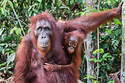A close-up portrait of a female orangutan (Pongo pymaeus) and her young together, Tanjung Puting National Park, Central Kalimantan, Borneo, Indonesia