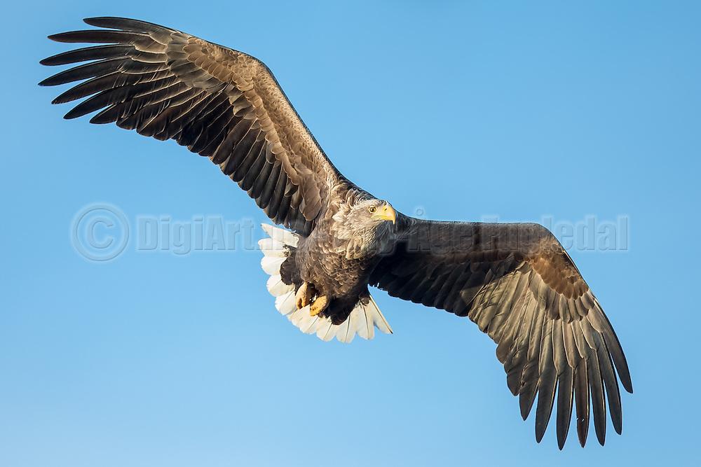 Eye contact with White-tailed eagle floating in the air   Øyekontakt med havørn som svever i luften.