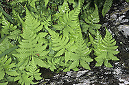 Oak Fern - Gymnocarpium dryopteris