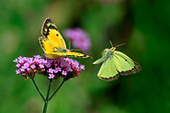 Two butterflies in motion blur, doing their mating dance on purple Brazilian Verbena flowers, Pink-edged Sulphur, Colias interior