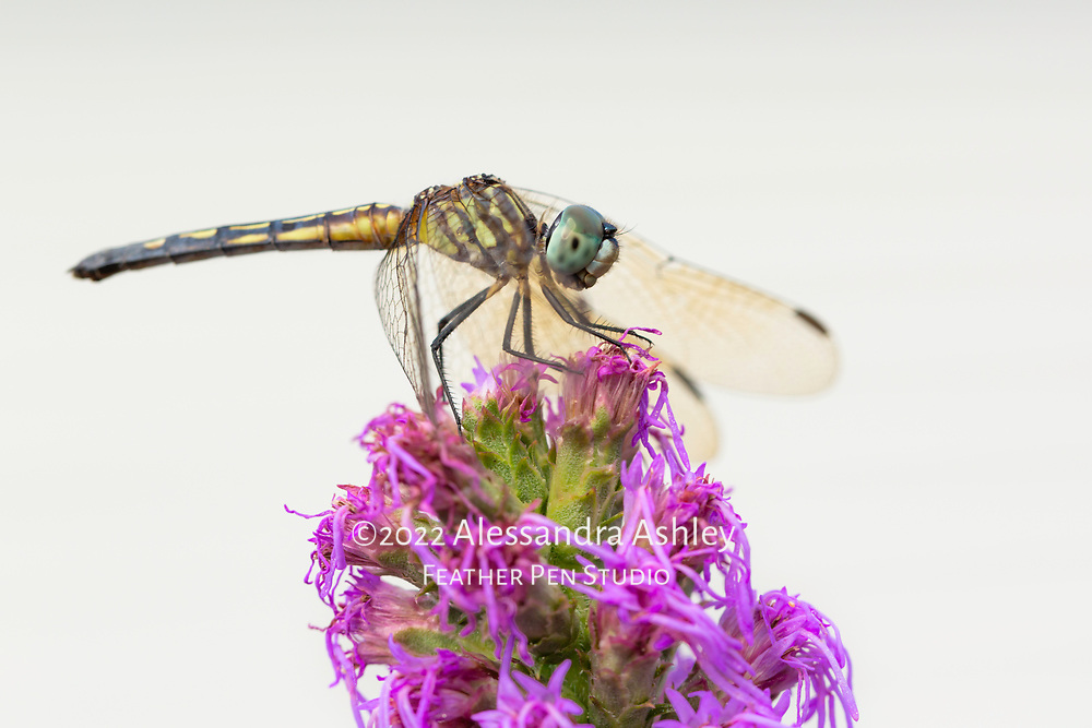 Dragonfly rests on Blazing Star (Liatris spicata) blossom in natural backyard setting.