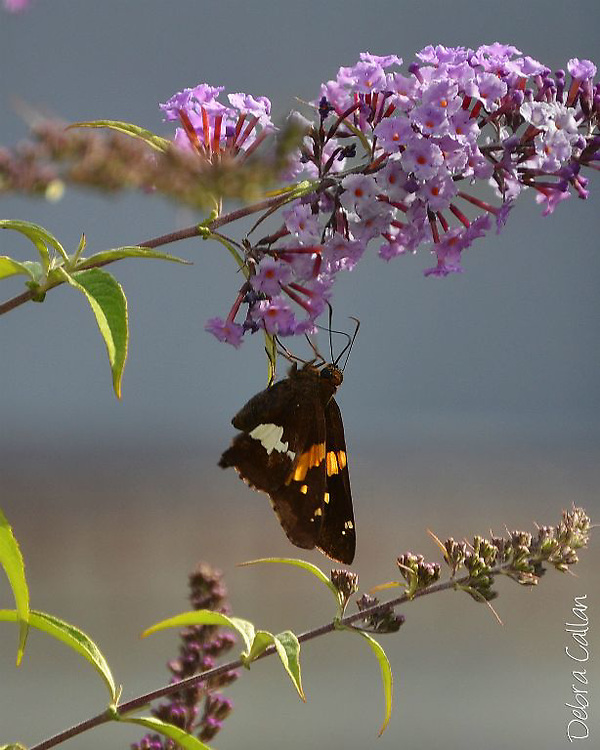 Silver Spotted Skipper collecting pollen from a butterfly bush.