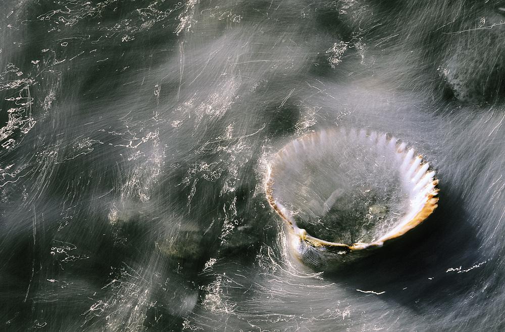 Clamshell and receding surf, spring, Salish Sea, Washington, USA
