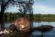 Giant Otter (Pteronura brasiliensis) HABITUATED FROM REHABILITATION CENTER<br /> Rain Forest<br /> Iwokrama Reserve<br /> GUYANA<br /> South America<br /> ENDANGERED SPECIES<br /> IUCN CITES 1