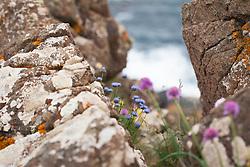 Sheep's Bit Scabious growing on cliffs near The Lizard Peninsula, Cornwall. Jasione montana syn. Alepidea ciliaris