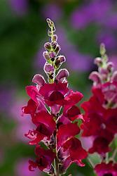 Antirrhinum 'Sonnet Crimson' (Sonnet Series). Snapdragon