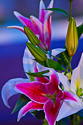 Oriental stargazer lilies are bold, beautiful, and dramatic and they sure to make that statement.