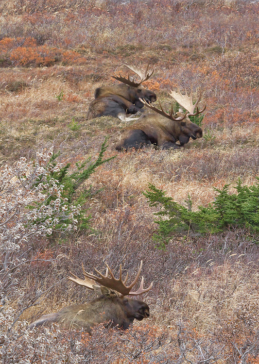 Alaska. Three bull moose (Alces alces) resting tolerating each other after the primary rutting season, Chugach State Park.