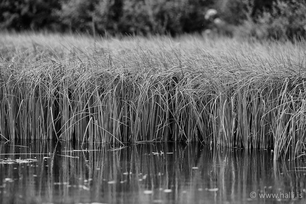 Withered grass at pond, Thingvellir, Iceland - Sefgras á Þingvöllum
