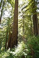 Sprawling Redwoods on the Pine Ridge Trail, Big Sur, California.