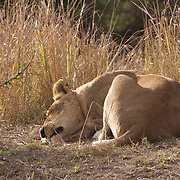 African lion sleeping. MalaMala Game Reserve. South Africa.