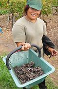 Harvest workers picking grapes. Noble rot grapes. Semillon. Chateau Nairac, Barsac, Sauternes, Bordeaux, France