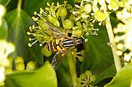 Sun Fly - Helophilus pendulus