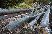 Illegally cut Common beech (Fagus sylvatica) along the D67 road inside the Domogled Valea Cernei National Park, Caras Severin, Romania.