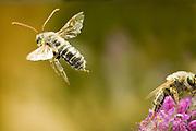 A male Eucerine bee, or digger bee, (Melissodes sp) in flight near Clarno, Oregon. Desert habitat.