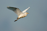 Cattle Egret - Bubulcus ibis - breeding adult