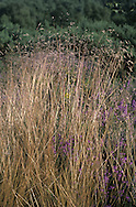 WAVY HAIR-GRASS Deschampsia flexuosa Height to 1m<br /> Tufted perennial of dry ground on heaths and moors, usually on acid soils. FLOWERS are borne in inflorescences comprising open clusters of purplish spikelets with a long, bent awn (Jun-Jul). FRUITS are small, dry nutlets. LEAVES are inrolled and hair-like. STATUS-Locally common in Britain; scarce in Ireland.