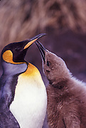 King penguin with baby, South Georgia Island, Antarctica