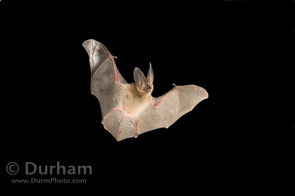 A townsend's big-eared bat (Corynothinus townsendii) exits a cave in the Derrick Cave complex, a series of lava tubes and lava bubbles. Dusk. Central Oregon. Please note: background elements have been digitally removed in this image.