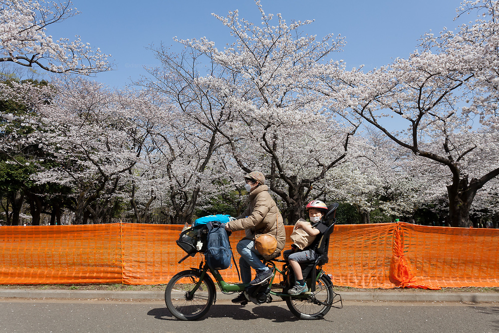 A Japanese woman on a bicycle rides past measures to avoid people gathering for Hanami parties under the cherry blossoms in Yoyogi Park, Shibuya, Tokyo, Japan. Friday March 26th 2021, Though Tokyo lifted its Coronavirus State of  Emergency at midnight on March 21st the annual Hanami , cherry blossom parties and other gatherings of large number of people are still limited and discouraged.
