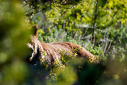 Grizzly #399 moving through the sage and forest of Grand Teton National Park.