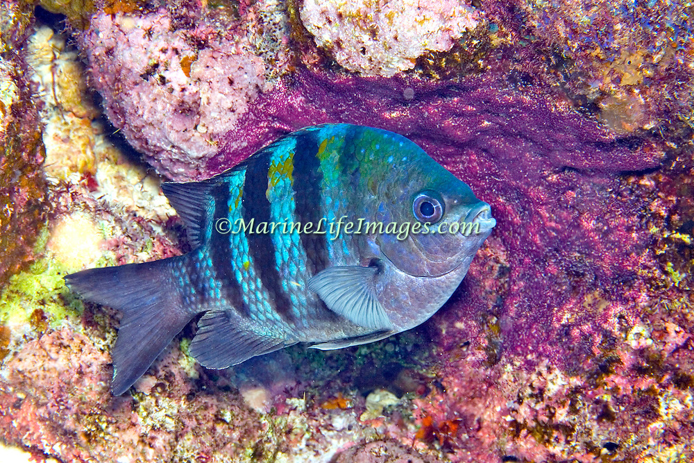 Sargent Major males become blue when courting and guarding purple patches of eggs, in Tropical West Atlantic; picture taken Roatan, Honduras.