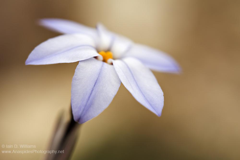 Blue Star Flower (Ipheion uniflorum) - Tasmania